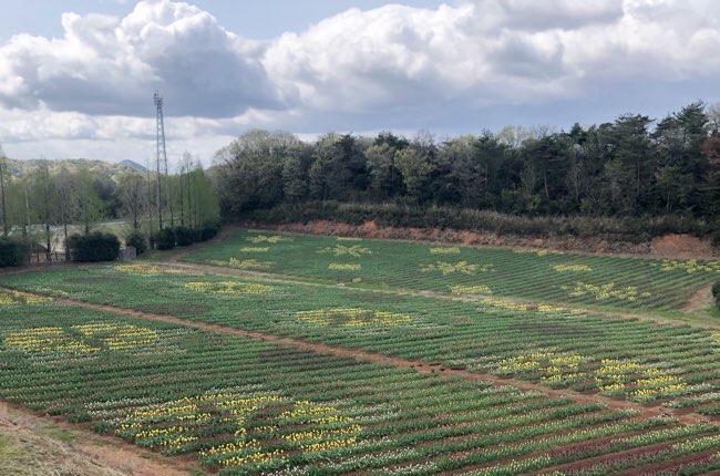 世羅高原農場 チューリップまつり